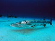 Great-barracuda