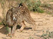 Lynx, Iberian