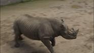 San Diego Zoo Safari Park Black Rhinoceros