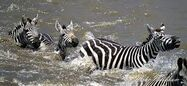 Zebras Drowning In the Great Big Flood Caused by the Great Big Worldwide Hurricane with Lots of Strong Winds and Heavy Rain