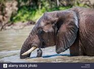 African Elephant Swimming In National Park