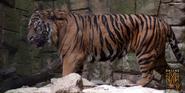 Dallas Zoo Tiger