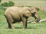 Noah's Ark Elephants and Tapirs