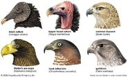 Vultures Eagles Owls Hawks Falcons Kites and Penguins