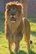WWLZ&AQ Lion