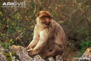 Barbary-macaque-