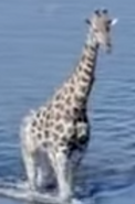 Earth 2009 Giraffe