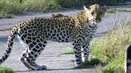 Leopards On the Road