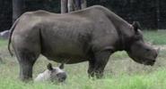 Riverbanks Zoo Black Rhino
