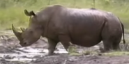 Zoboomafoo White Rhinoceros