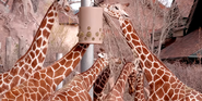 Cheyenne Mountain Zoo Giraffes
