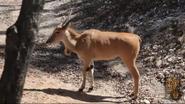 Dallas Zoo Eland