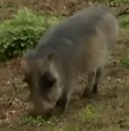 Detroit Zoo Warthog