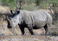 Pilanesberg Rhino JPG