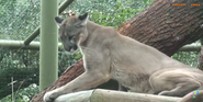 Tampa Lowry Park Zoo Cougar