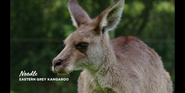 CITIRWN Grey Kangaroo