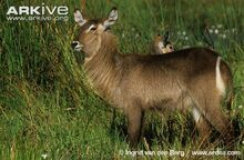 Female-Ellipsen-waterbuck-