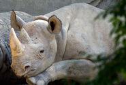 Photo-detail-asia-black-rhino-3