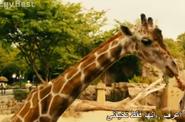 Zookeeper 2011 Giraffe