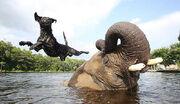 Elephant Dog