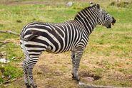 Plains Zebra, Grant's
