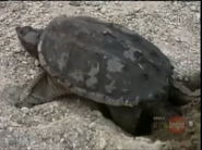 Zoboomafoo Snapping Turtle