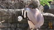 Dallas Zoo Gemsbok