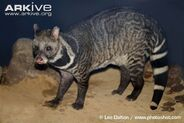 Large-Indian-civet-in-captivity