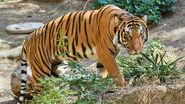 Malayan-Tiger-Images
