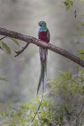 Respledent Quetzal, Costa Rica 2016