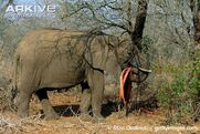 African-elephant-stripping-bark