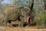 African-elephant-stripping-bark