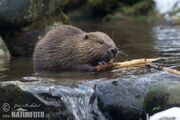 European-beaver-79519