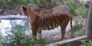 Fresno Chaffe Zoo Tiger