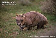 Southern-hairy-nosed-wombat