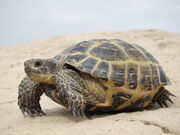Tortoise, Russian