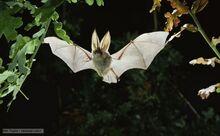 Brown long-eared bat 1