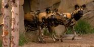Cincinnati Zoo Wild Dogs