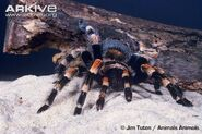 Mexican-redknee-tarantula-on-sand