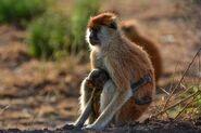 Monkey, Patas