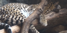 Cleveland Metroparks Zoo Ocelot