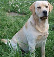 Retriever, Labrador
