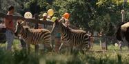 WBAZ Zebras