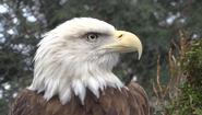 Cleveland Metroparks Zoo Eagle