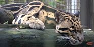 Tampa Lowry Park Zoo Clouded Leopard