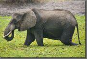 Tanzania 2801-Young Elephants