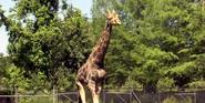 Audubon Zoo Giraffe