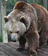 Bear, Eurasian Brown