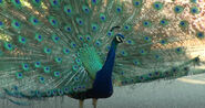 Cincinnati Zoo Peacock