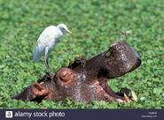 Hippo-and-cattle-egret-hippopotamus-flusspferd-hippopotamus-amphibius-AN2E6K